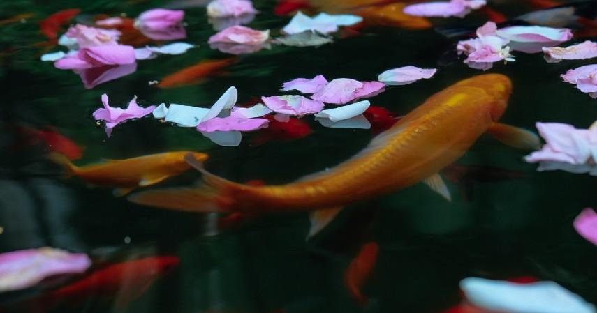 Memelihara ikan di kolam rumah