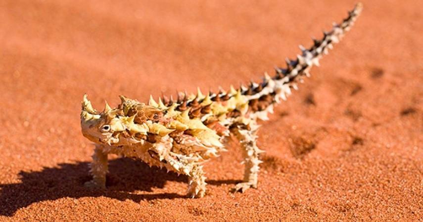 hewan langka - kadal berduri