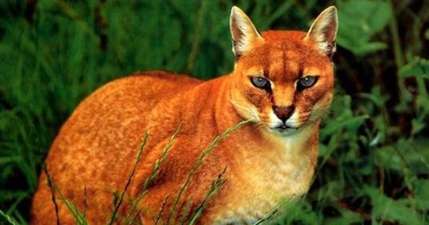 hewan langka - kucing merah