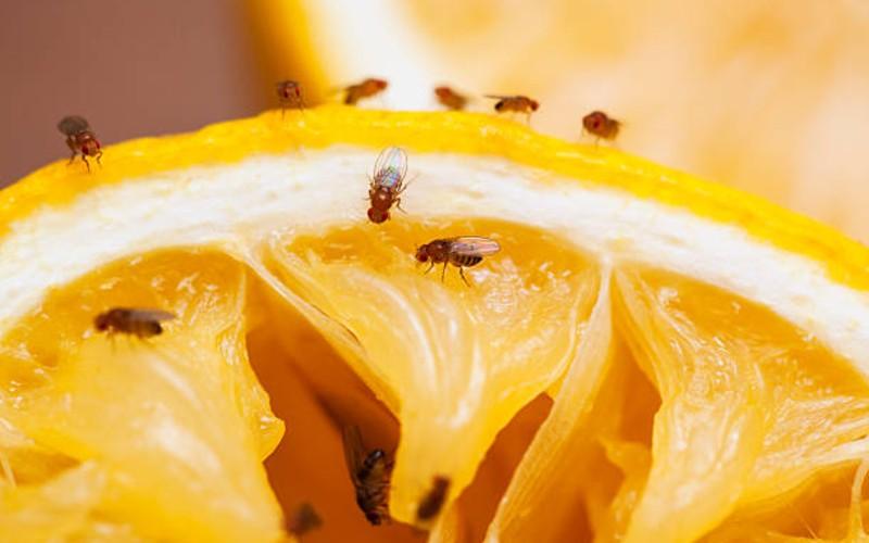 makanan ikan cupang - lalat buah