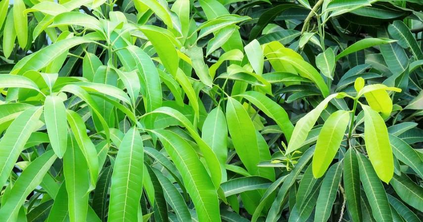obat asam urat paling manjur - daun mangga