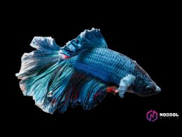 thumbnail ikan cupang termahal - ikan cupang termahal