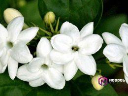 thumbnail mitos melati - mitos bunga melati